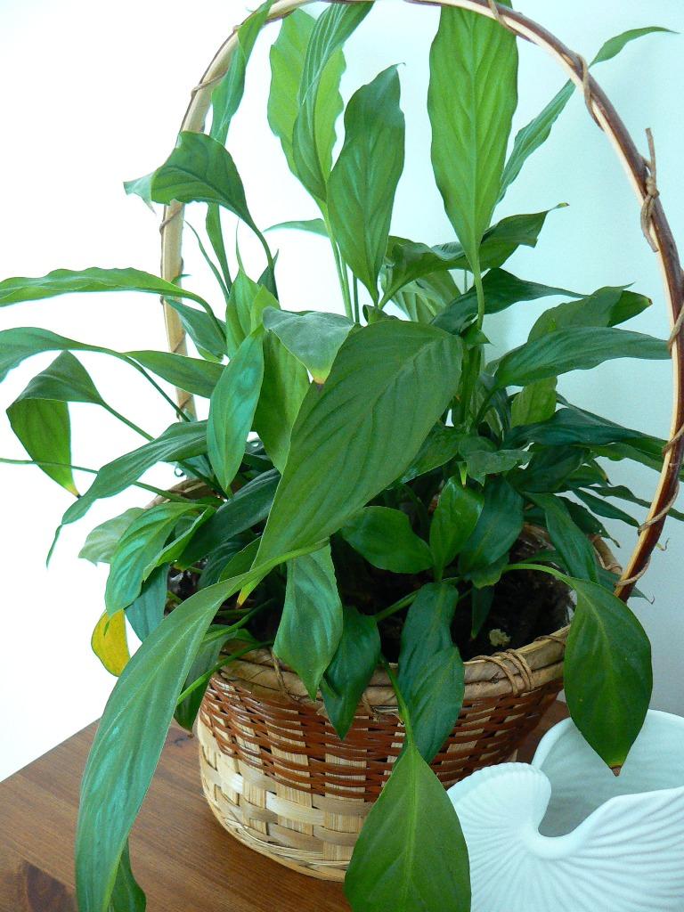 Spathiphyllum qui ne fleurit pas