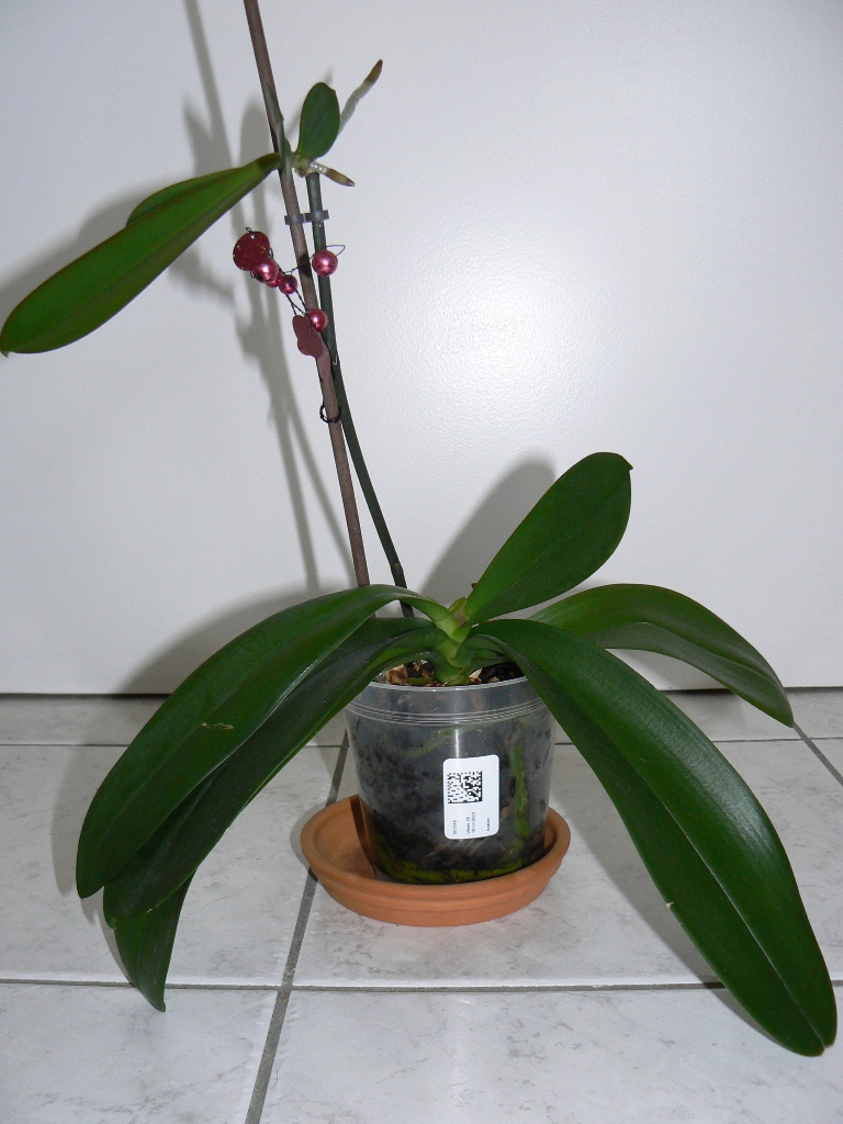 orchidee nouvelle feuille